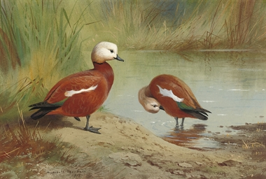 A pair of ruddy shelduck on a