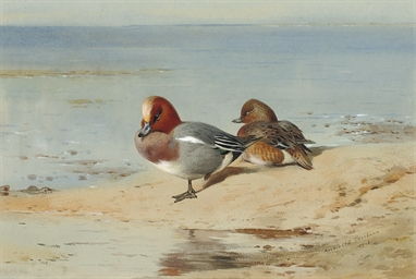 A pair of widgeon on the shore