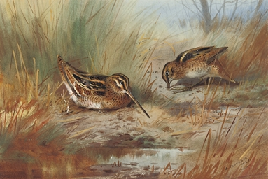 Snipe amid the reeds