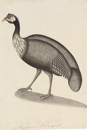 A Helmeted Guinea Fowl