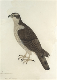 An Eastern Goshawk