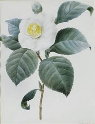 Fleur de Camélia blanc