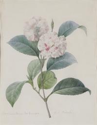 Fleur de camélia rose et blanc