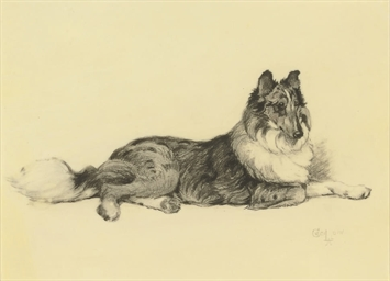 A collie lying down
