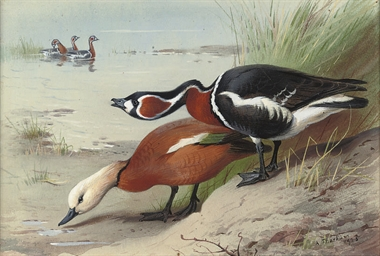 A ruddy shelduck and a red-bre