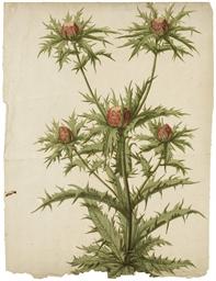 Branche de chardons en fleurs