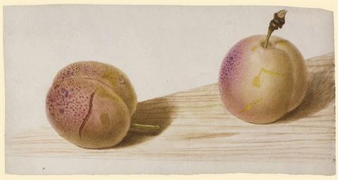 Deux abricots