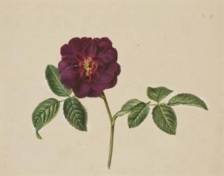 Une fleur de camélia rouge
