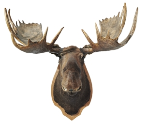A CANADIAN TAXIDERMY MOOSE HEA