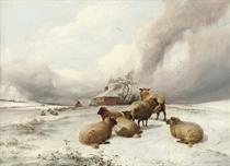 Sheep grazing, mid-winter