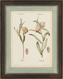 Studies of Fritillaria; Bignon