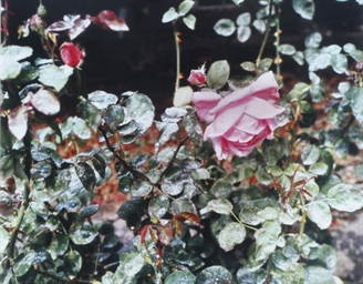 Rose with Volcanic Ash, 1981