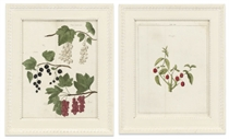 A SET OF TWELVE HAND-COLOURED ENGRAVINGS OF FRUIT FROM 'POMOLOGIA'