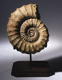 AMMONITE BARANCYLOCERAS SP