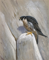 Peregrine surveying the territory, Sussex