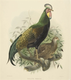 Green Jungle Fowl (Gallus Vari