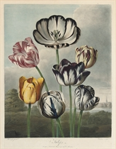 Tulips; and A group of Carnations
