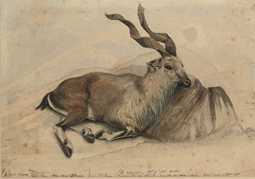 The Markhor (Capra falconeri),