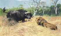 Buffalo and lion before the fight