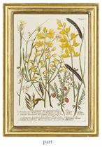 Botanical Studies from Phytanthoza iconographia