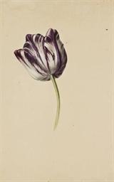 Tulipe bicolore violette et bl