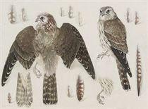 Studies of a female Merlin