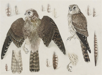 Studies of a female Merlin
