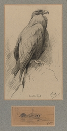 Study of a Golden Eagle and a