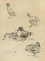 Studies of Shoveller ducks