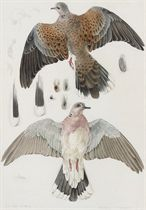 Study of a Turtle Dove at Bardsey