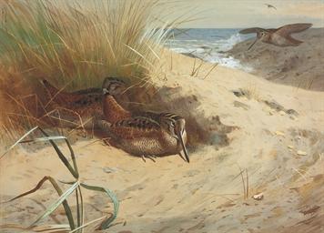 Woodcock among the dunes