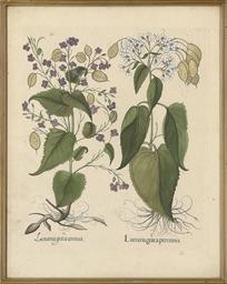 Lunaria graeca perennis; Catap