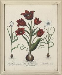 Tulipa polyanthos praecox rose