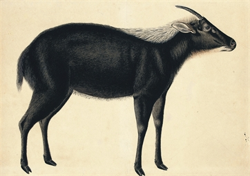 A Chinese serow (Capricornis m
