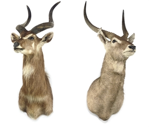 A WATERBUCK HUNTING TROPHY