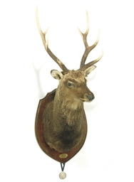 AN IRISH TAXIDERMY SIKA DEER H
