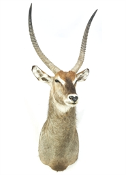 AN AFRICAN TAXIDERMY WATERBUCK