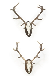 TWO SPANISH RED DEER ANTLER TR