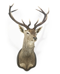 A SPANISH TAXIDERMY RED DEER T
