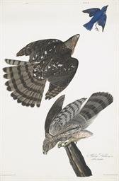 Stanley Hawk (Plate 36) Astur