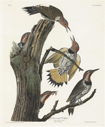 Golden-winged Woodpecker (Plat