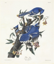 Blue Jay (Plate CII) Corvus cr