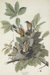 American Robin (Plate CXXXI) T