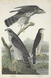 Goshawk. Stanley Hawk (Plate C