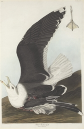 Black Backed Gull (Plate CCXLI
