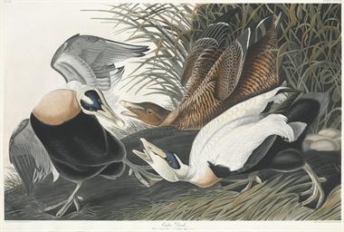 Eider Duck (Plate CCXLVI) Fuli