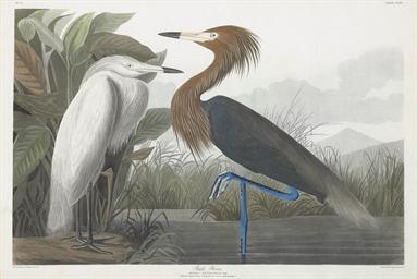Purple Heron (Plate CCLVI) Ard