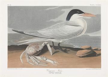Cayenne Tern (Plate CCLXXIII)