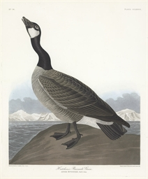 Hutchins's Barnacle Goose (Pla