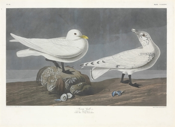 Ivory Gull (Plate CCLXXXVII) L